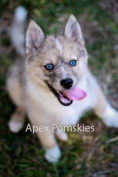 Real pomsky: Meep the Pomsky as a puppy at 10 weeks old. Still a cute dog. Full grown they are 1/3 the size of purebred huskies.
