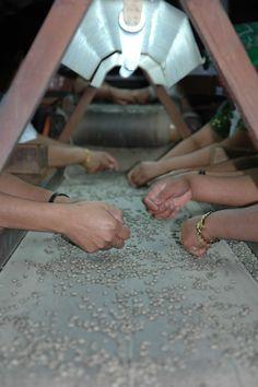 Hand sorting coffee beans. Antigua, Guatemala.