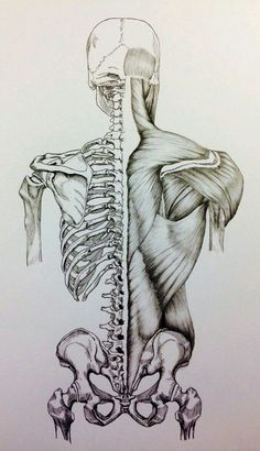 Skull to pelvis back bones/muscles by billydoubleu human body muscles, human body anatomy Anatomy Sketches, Art Sketches, Art Drawings, Medical Drawings, Medical Art, Anatomy Bones, Skull Anatomy, Anatomy Back, Anatomy Tattoo