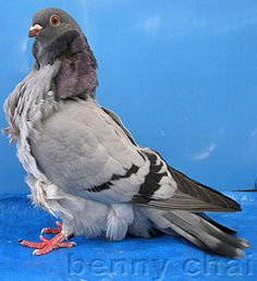 """Chinese Owl Pigeons - btw this is not an owl, of course, but a type of """"fancy"""" special breed pigeon named """"Chinese Owl"""""""