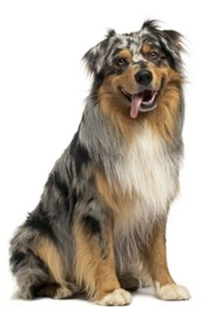 Taking the Australian Shepherd-Huskies for long walks frequently and following an extensive exercise routine is a complete must. Description from buzzle.com. I searched for this on bing.com/images