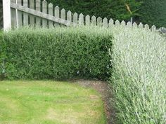 Corokia Genty's Green - for hedging