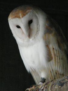 Lofty the Barn Owl I LOVE THEM