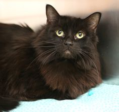 Missy Midnight is a dignified older lady looking for her purrrfect forever home. Meet her at OHS today!