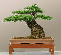 Taking care of indoor bonsai trees doesn't have to be difficult – find out how in today's discussion! Bonsai Tree Types, Indoor Bonsai Tree, Mini Bonsai, Indoor Trees, Bonsai Art, Bonsai Garden, Acer Palmatum, Mini Plantas, Japanese Tree