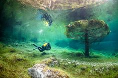 Cet arbre restera immergé durant au moins deux mois. Le lac Vert est un lac éphémère, il innonde la prairie autrichienne, de mai à juin. © Marc Henauer, www.nitrogenic.com