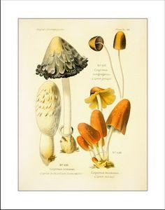 mushroom prints, antique mushroom art, vintage botanical prints, mushroom pictures, discout frames, nature art