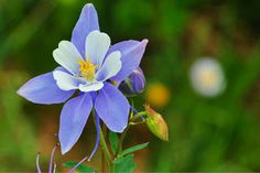 A columbine blooms along Colorado's Shelf Lake Trail.