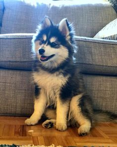 Pomsky Dog Breed Information & Pictures - Pomsky - Puppies Cute Dogs And Puppies, Baby Dogs, I Love Dogs, Puppies Tips, Puppies For Sale, Doggies, Pomsky Puppies, Pomeranian Dogs, Pomeranian Husky Full Grown