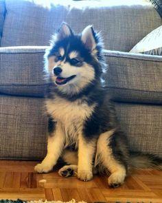 Pomsky Dog Breed Information & Pictures - Pomsky - Puppies Pomeranian Husky, Pomsky Puppies, Cute Puppies, Dogs And Puppies, Small Pomeranian, Beagle Puppies, Puppies Tips, Doggies, Pets