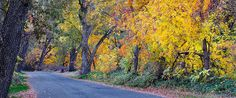 Bright fall colors line the road through Lower Bidwell Park, Chico.