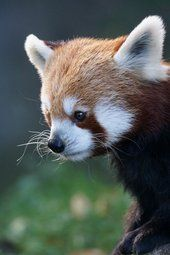 Red pandaSeparated since the dinosaurs, bamboo-eating lemurs and pandas share common gut microbes NC State University