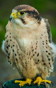 What a pretty Hawk! : actually, I think this is a falcon. A peregrine falcon, to be prescise. Birds Of Prey, Raptor Bird Of Prey, All Birds, Love Birds, Beautiful Birds, Animals Beautiful, Peregrine Falcon, All Gods Creatures, Big Bird