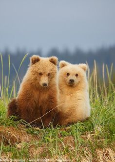 Second summer brown bear cubs, Lake Clark National Park, Alaska. Nature Animals, Animals And Pets, Wild Animals, Beautiful Creatures, Animals Beautiful, Beautiful Smile, Cute Baby Animals, Funny Animals, Baby Pandas