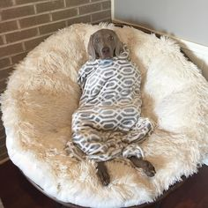 Don't you hate it when your #weimaraner burrito spills out of the end? @wheelertheweim looks quite content on this #Pier1 #Papasan. We love your pet pictures! Share them with #Pier1love.