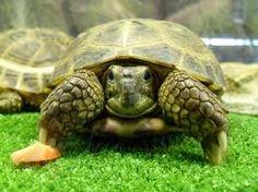 www.petclic.es la mayor tienda online de productos para #mascotas. La mayor biblioteca de contenido y consejos sobre mascotas. 1.000 consejos. 50.000 imagenes. Foto de #animales #tortuga #rusa