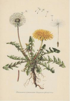 Discover thousands of images about Vintage Botanical Print Dandelion Taraxacum by AntiquePrintGarden Vintage Botanical Prints, Botanical Drawings, Antique Prints, Botanical Art, Illustration Botanique, Plant Illustration, Impressions Botaniques, Taraxacum Officinale, Image Nature