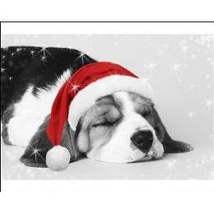 Photographic Print of JD-12516E-C-M Beagle Dog - puppy asleep wearing a Christmas hat from Ardea Wildlife Pets