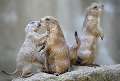 Third wheel                 Two black-tailed prairie dogs play at the Amneville Zoo in France on July 8 while a third looks on.