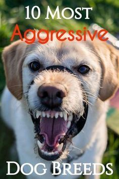 Dog Behavior 10 Most Aggressive Dog Breeds: Temperament Ratings and Information via - If you're looking for a new puppy for your family or children, you will want to avoid the 10 dogs that are known to be aggressive, mean, and potentially dangerous. Training Your Dog, Training Tips, Training Online, Potty Training, Training Quotes, Aggressive Dog Breeds, Dog Growling, Reactive Dog, Dog Anxiety