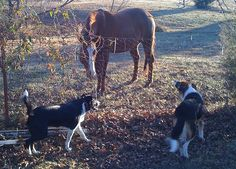 Horse and Border Collies | Flickr - Photo Sharing!