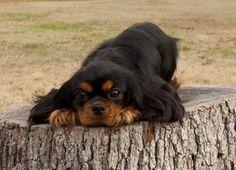 cavalier king charles spaniel black and tan running - Yahoo Bildsökresultat King Charles Spaniels, King Charles Puppy, Cavalier King Charles Dog, Cute Puppies, Cute Dogs, Corgi Puppies, Animals Beautiful, Cute Animals, Spaniel Dog