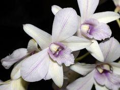 "Dendrobium Hybrid - Cross betweenPink Dazzler X Liholilho - ""Robert Perreira"" AM AOS HOS, by DansPhotoArt, via Flickr"