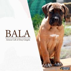 Bala 🥰 #canecorso #canecorsomania #canecorsolove #canecorso_feature #canecorsoitaliano #canecorsopuppy #canecorsopuppys #bluecanecorsopuppy #canecorsosofinstagram #canecorsoofinstagram #canecorsolovers #canecorsopuppy #canecorsoclub #canecorsogram #canecorsobrasil #canecorsopuppies #canecorsosweden #canecorsoactionphotos Blue Cane Corso Puppies, Cane Corso Italiano, Call Of Duty, Photo S, Action, Dogs, Pictures, Animals, Instagram