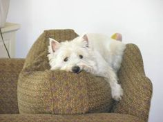 I love that westies sleep on the tops of couch pillows!