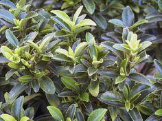 EUONYMUS japonicus Microphyllus : feuillage persistant. Peut remplacer buis ???