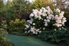 Hydrangea paniculata 'Limelight', Berberis thunbergii 'Golden Torch', Jardins de Valérianes (76), photo Boucourt Franck / Cap-photos