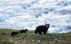 Bear Country: North America's Grizzly, Black and Polar Bears by Steve   Kazlowski.