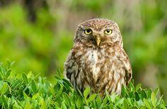 Owl Storytelling: Perchè si chiama Civetta? seguite l'unico blog 100% GUFI !!!