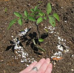 Great gardening tips using – Eggshells, Coffee Grounds, Flour, etc…