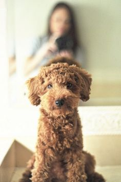 Labradoodle- going to get a cute puppy like this someday!