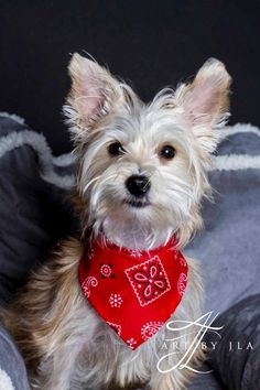 Lincoln is an adoptable Yorkshire Terrier Yorkie searching for a forever family near Baton Rouge, LA. Use Petfinder to find adoptable pets in your area.