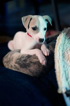 "My brother's new Whippet puppy ""Shelby"" - http://puppypicturesplease.com/my-brothers-new-whippet-puppy-shelby/  #puppies #dogs #cute"