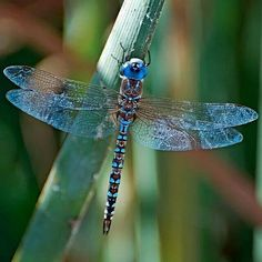 The sight of a dragonfly on the wing is one of the more remarkable that nature has to offer.~ both me and my son had a dragonfly land on us today. This is always happening to me and it seems so magical every time. Blue Dragonfly, Dragonfly Tattoo, Dragonfly Insect, Dragonfly Images, Dragonfly Symbolism, Insect Wings, Dragonfly Wings, Beautiful Bugs, Beautiful Butterflies