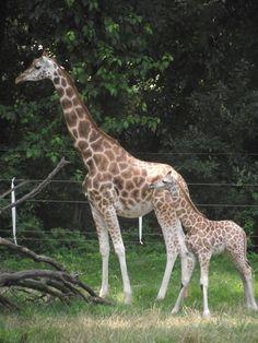 Bronx Zooo: Giraffa e il suo piccolo