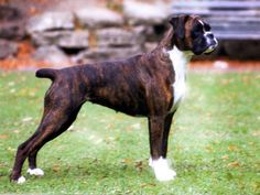Boxer Americano, Boxer Dogs, Boxers, Beautiful Dogs, Dog Cat, Pets, Animals, Google, Adorable Animals