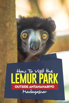 The complete guide how to see the Lemurs in the Lemur Park on the outskirts of Antananarivo the capital of Madagascar. Madagascar Travel, Madagascar Palm, Animal Experiences, Us Travel Destinations, Cultural Experience, Parc National, National Parks, Lemurs, Africa Travel