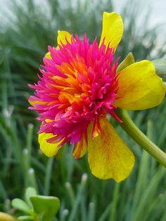 """Cinderella"" ✯ Portulaca Purslane ""Cinderella"" wow never seen a flower like this before, but they look really cool and pretty.✯ Portulaca Purslane ""Cinderella"" wow never seen a flower like this before, but they look really cool and pretty. Unusual Flowers, Amazing Flowers, Colorful Flowers, Beautiful Flowers, Happy Flowers, Simply Beautiful, Vibrant Colors, Colours, Purslane Flowers"