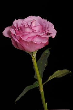 "500px / Photo ""Rose in pink tone"" by Cristobal Garciaferro Rubio"