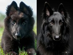 Belgian Groenendales are apparently the most gorgeous dog ever http://imgur.com/gallery/mFp08OC