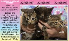 **Fort Worth, TX**CURRENT STATUS: Medically Urgent - IMMEDIATE RESCUE NEEDED for Jack - Must be out of building by 6pm 4/18 - Others available 4/20**  Reason for URGENT: Jack- Runt: back problems and patellas popping out/trouble urinating on his own  Animal ID: 22468499 (F), 22468493 (F), 22468486 (M) Jane, Jill, Jack Breed: DSH Sex: Male and Female Age: 6 weeks as of 4/16…