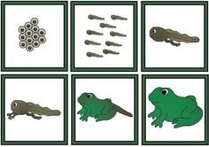 Carrying on with the frog theme, I created these sequence cards. Children place the cards in a circle to create the life cyc. Teaching Science, Science Education, Science Activities, Educational Activities, Frog Crafts, Preschool Crafts, Lifecycle Of A Frog, Sequencing Cards, Frog Theme