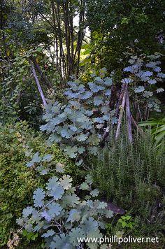 Macleaya cordata - easy to grow, gorgeous!