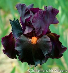 This floral wonder is our entry into the exciting new color class of red bearded dark Iris. Its dusky prune purple standards darken to black purple in the falls....
