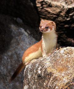 """This article will answer common questions regarding the weasel's unique diet such as """"what do weasels eat?"""" or """"can I have a weasel as a pet? Beautiful Creatures, Animals Beautiful, Baby Animals, Cute Animals, British Wildlife, Animal Magic, All Gods Creatures, Animal Photography, Pet Birds"""
