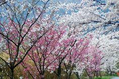 菰野町大羽根園 散歩道 早朝散歩 平成26年4月4日